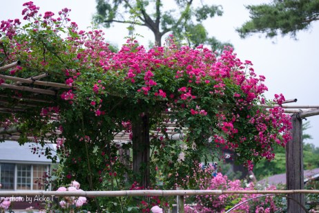 akiko_rose-39
