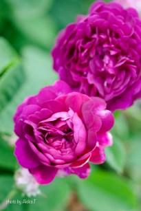 akiko_rose-52