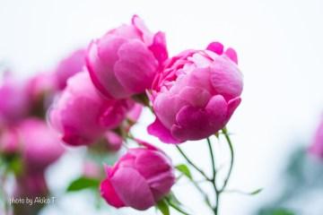 akiko_rose-61