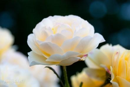 akiko_rose-64
