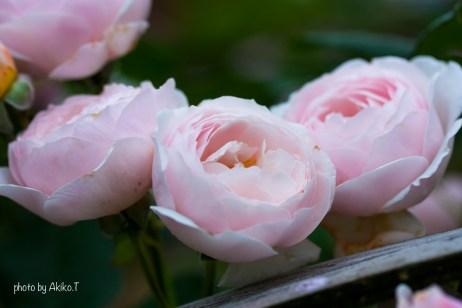akiko_rose-85