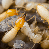 Picture shows working termites.