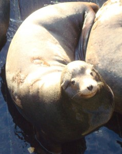 The Pacific coast is home to the entire U.S. population of California sea lions, according to the Oregon Department of Fish and Wildlife. (Photo: Amy Schneider)