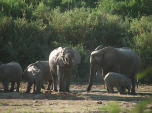 For Epps and his research team, these elephants were a rare sighting on the border of the Idodi-Pawaka Wildlife Management Area and Ruaha National Park. (Photo courtesy of Clinton Epps)