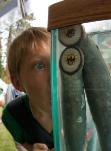 A child peers into a tank of lamprey during an educational outreach sponsored by the U.S. Fish and Wildlife Service. (Photo: Dave Herasimtschuk, Freshwaters Illustrated)