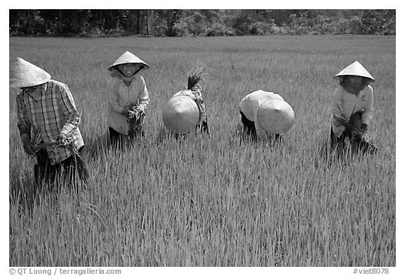 Agricultural Cultivation Black And White Picture/photo: Labor-intensive Rice