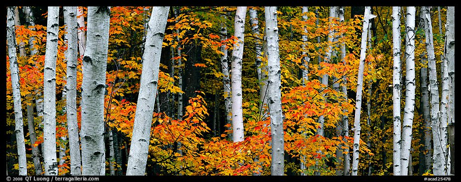 Fall Aspens Wallpaper Panoramic Picture Photo White Birch Trees And Orange