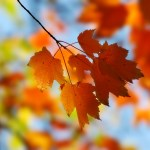 ws_Maple_leaves_1600x1200