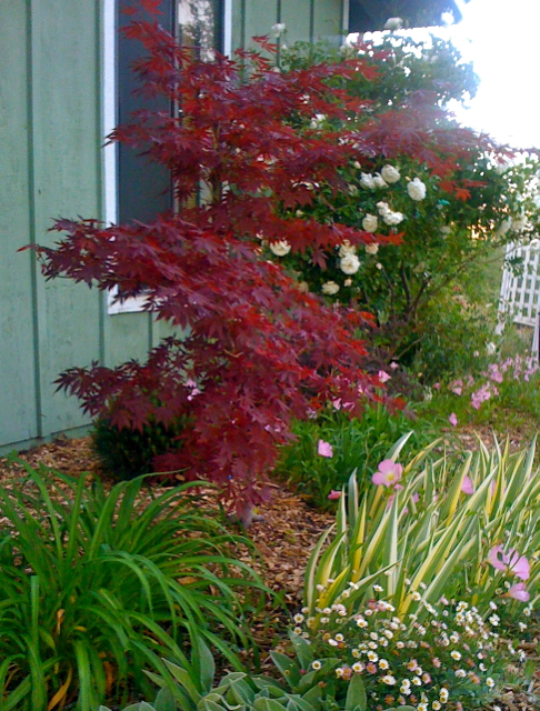 Plant spotlight japanese maples terre verte landscape for Garden design with japanese maple