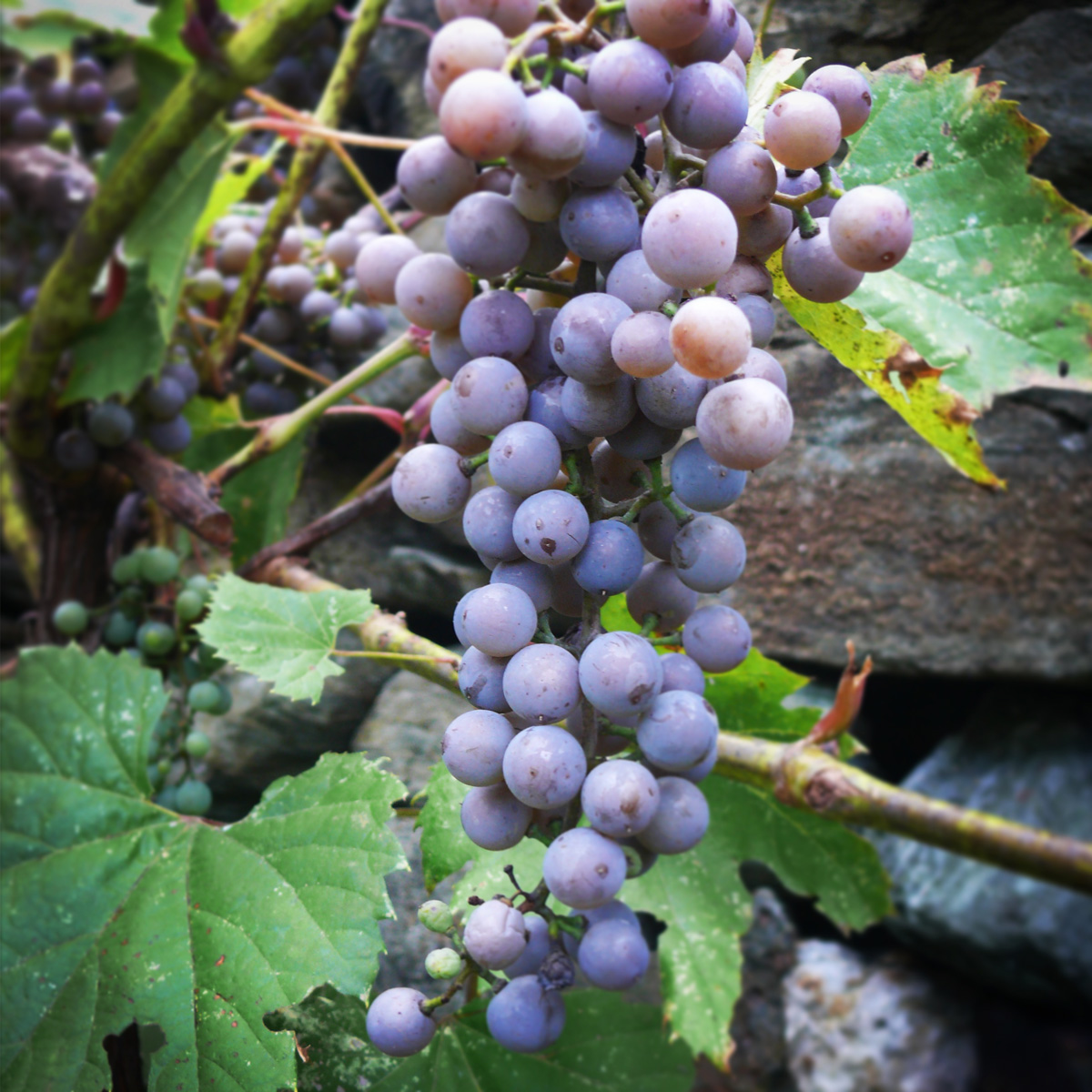 Toward A New Lexicon For American Wine Terroir Review