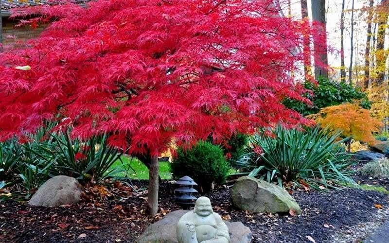 Maple Leaf Wallpaper For Fall Season What S 1 Little Japanese Maple Worth Tessera Guild