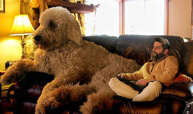 Größter Online Shop Photographer Photoshops His Goldendoodle Into Massive Dog