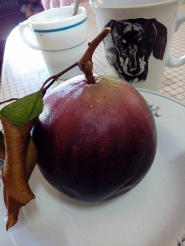 star apple ผลไม้หวาน ๆ เย็นชื่นใจ