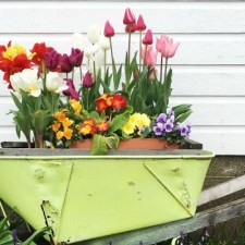 tulip wheelbarrow feature