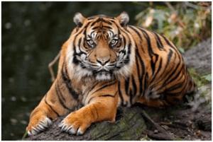 Tiger | Top 10 strongest animals