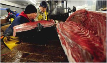 Blue-Fin-Tuna - Top 10 animals being killed by poachers