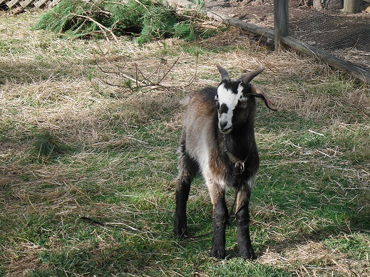 Vegan Goat: Solomon: a special goat who had a rough start in life but is now going stronger than ever