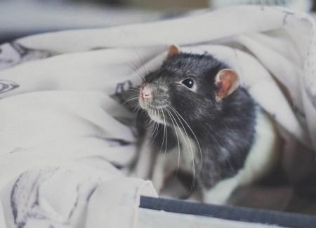 Маленький и очаровательный друг: крыса Чак
