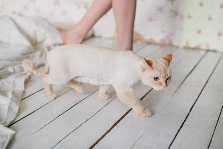 Дворянская нежность: кошка Майонез