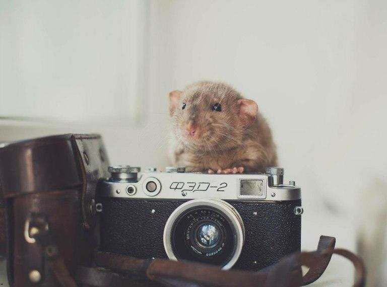 Про то, что крысы совсем не страшные