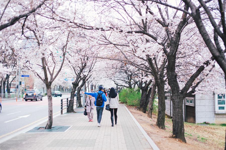 cherry-blossom-150405-53