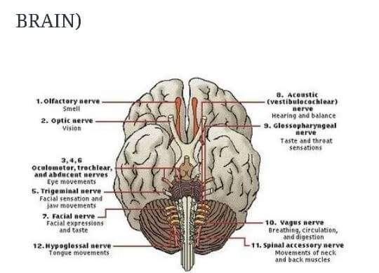 The 12 Cranial Nerves are the 12 Disciples and also the 24 Elders