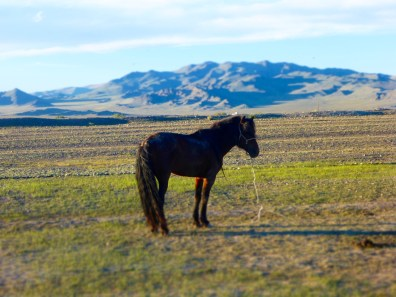 Horse on the Mongolian Steppe