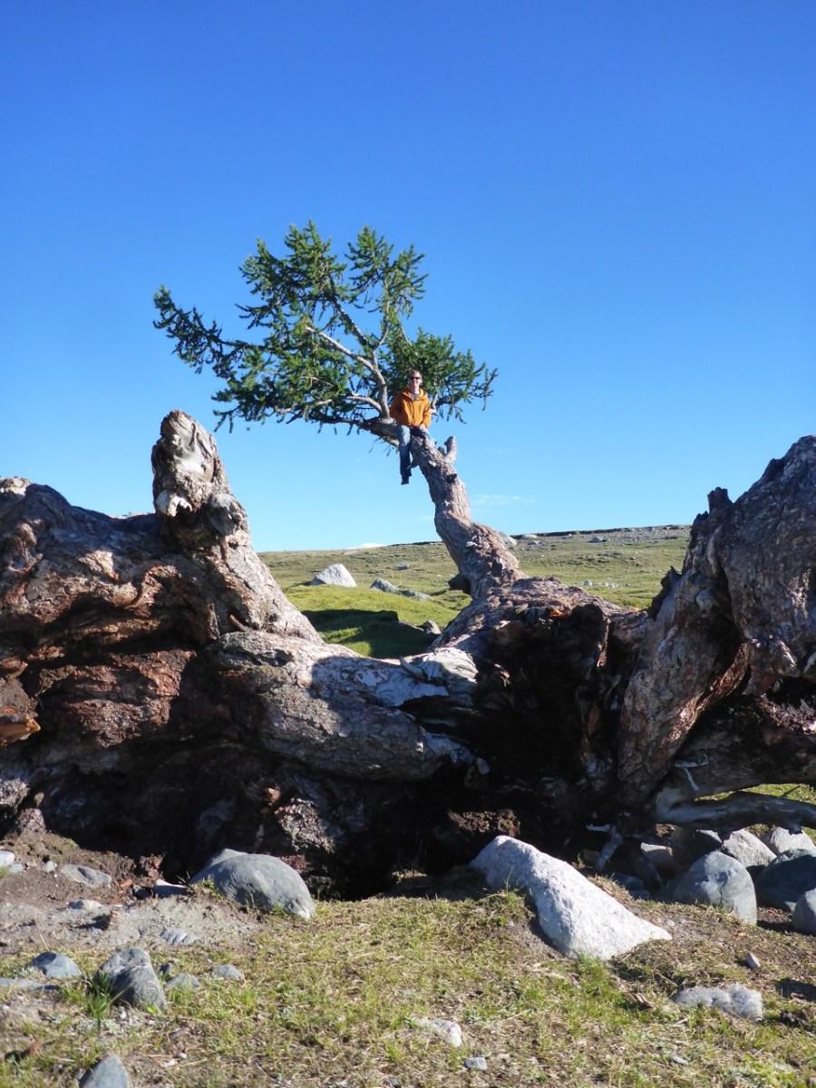 Climbing a tree in Tavan Bodg National Park; Western Mongolia
