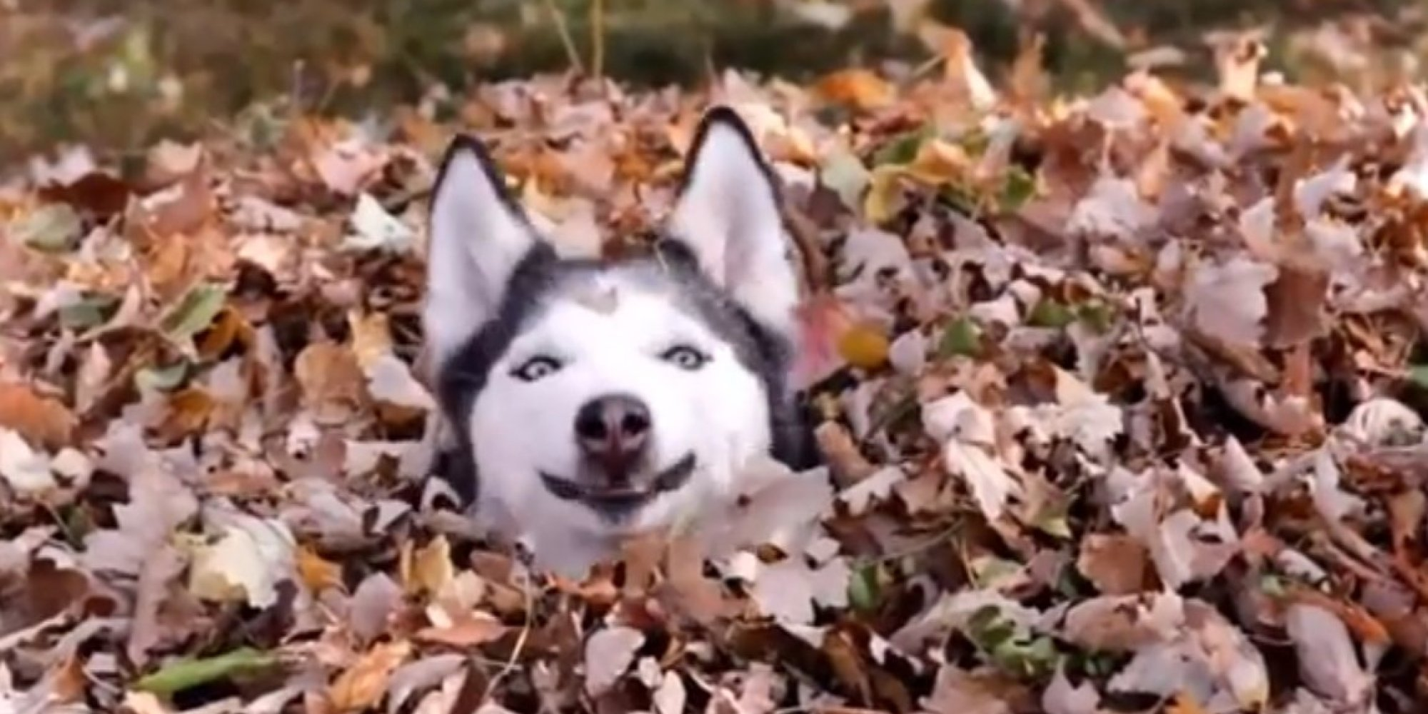 Why Do We Fall Wallpaper Funny Dog Playing In Leaves