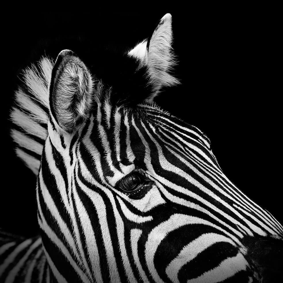 Animal Planet Wallpaper Hd These Black And White Animals By Lukas Holas Are Just
