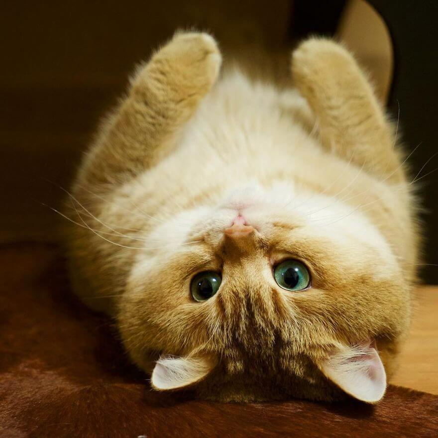 Cute Cat Images For Wallpaper 41 Pictures Of The Hosico Cat Proving Once And For All