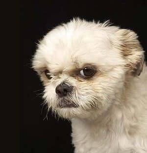 Cute Pomeranian Puppies Wallpaper 15 Angry Baby Animals That Are Way Too Adorable To Stay Mad