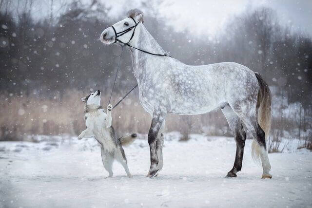Husky Dog Hd Wallpapers Friendship Between A Horse And Husky Dog Caught In