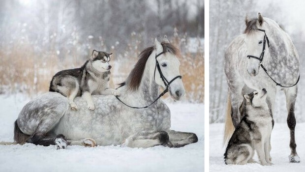 Black And Grey Wallpaper Friendship Between A Horse And Husky Dog Caught In
