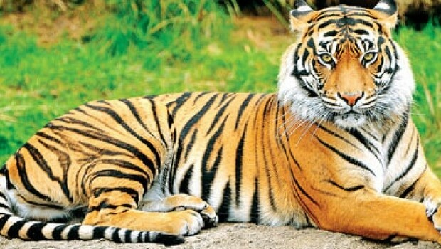 Tiger Animal Wallpaper Why Do Tigers Have Stripes And How It Makes Them Epic Hunters