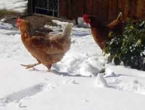 Preparing Backyard Chickens for Winter
