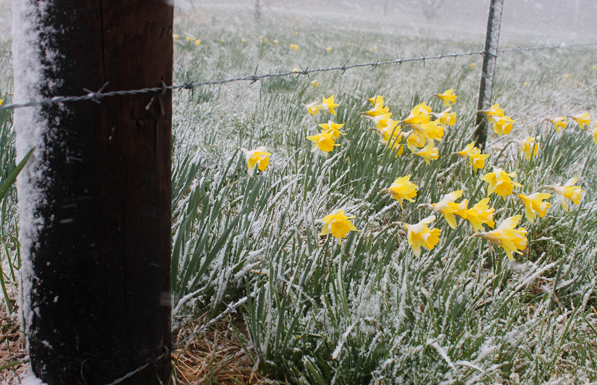tennessee-snow-daffodil