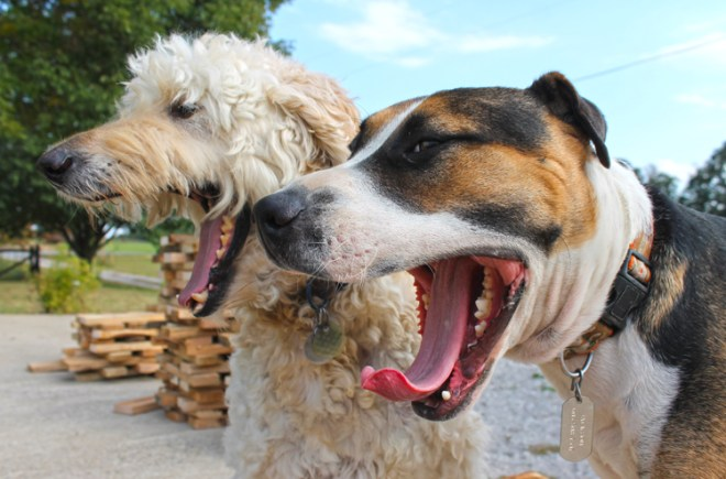 stacks-of-wood-pic-dogs-yawning