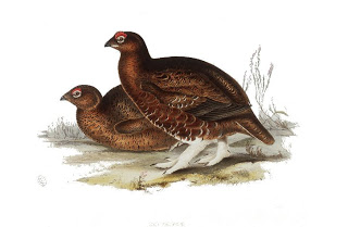 Print of a pair of red grouse