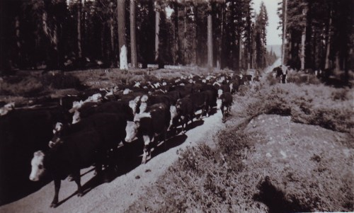 An actual picture from the cattle drive between the two ranches.