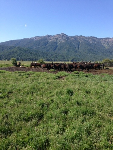 We start by gathering the calves from their field.