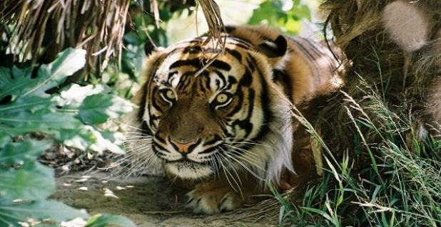 Bashii, a sumatran tiger, in Wellington Zoo.