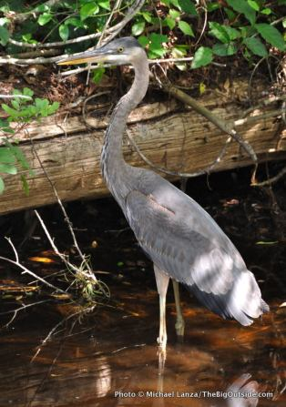 Great blue heron, Everglades.