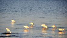 White ibises, Tiger Key.
