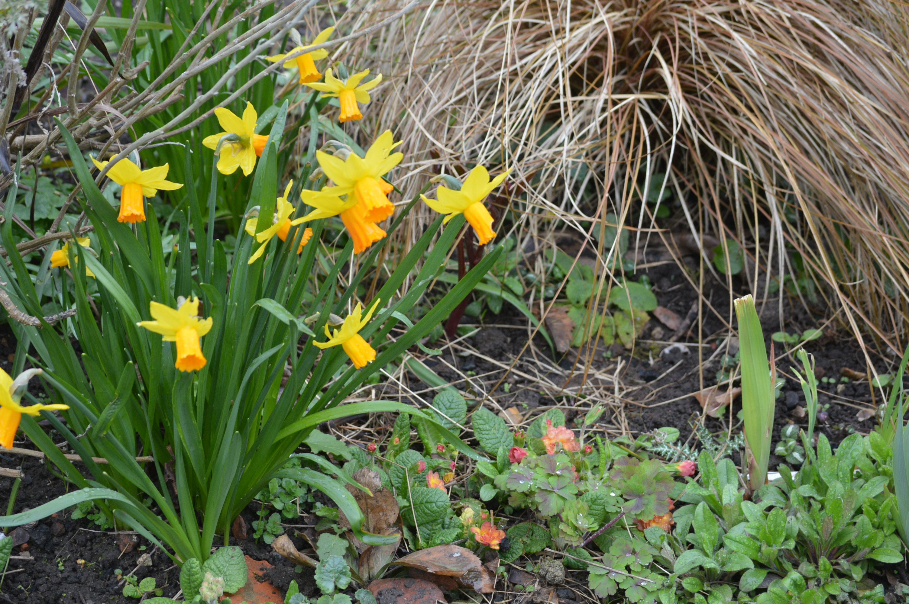 Narcissus Cyclamineus End Of Month View The Blooming Garden
