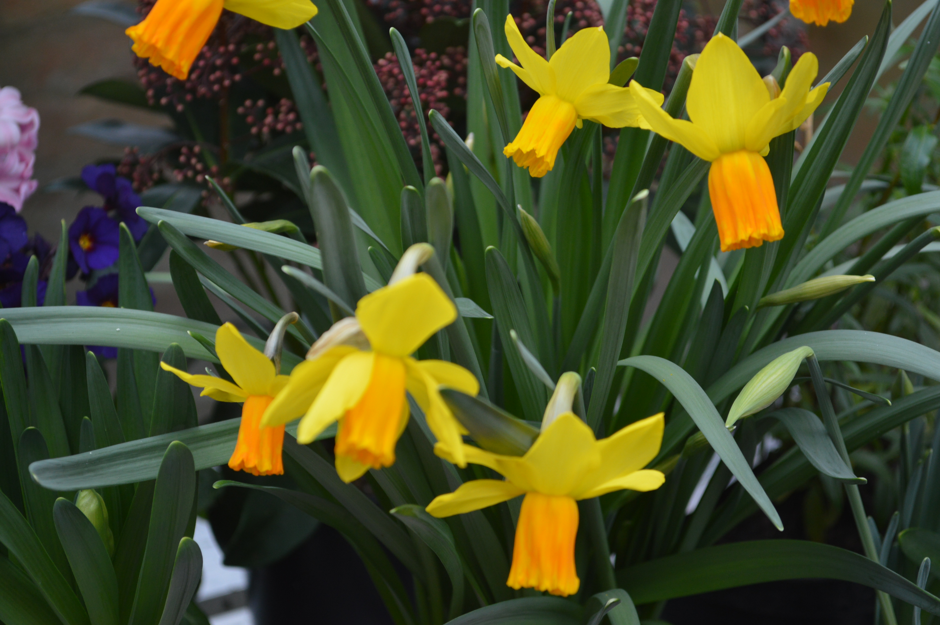 Narcissus Cyclamineus Ten Favourite February Blooms The Blooming Garden
