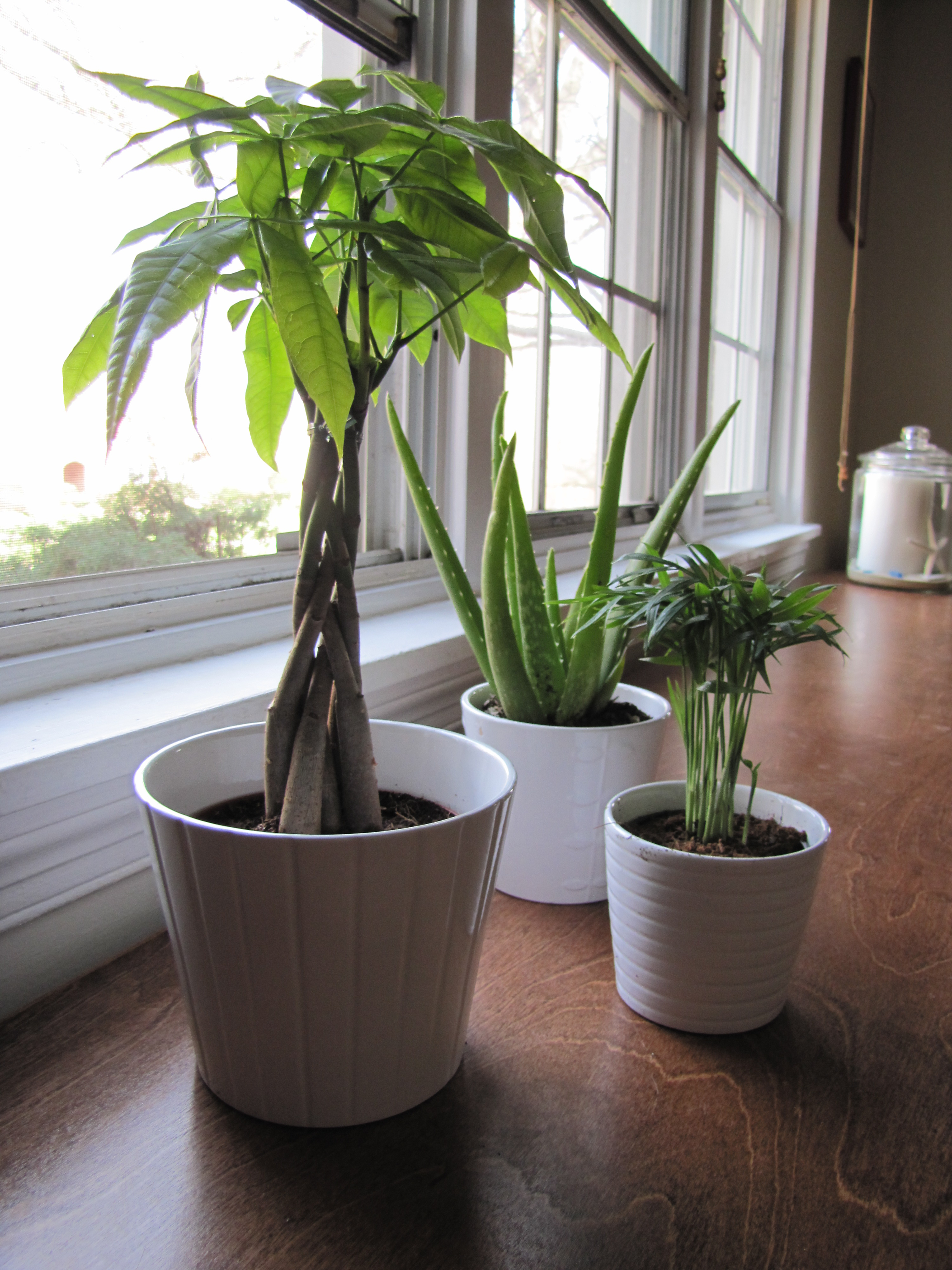 Tall Live Indoor Plants Live A Little The Borrowed Abode