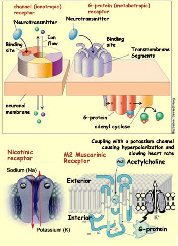 THE BRAIN FROM TOP TO BOTTOM - neuromuscular junction
