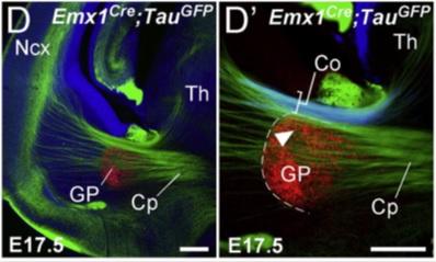 Estes números mostram neurônios em verde fazendo o seu caminho a partir do tálamo (Th) para o córtex (NCX).  De: Deck et al.  Neuron 77: 472-484.