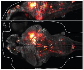 O cérebro de um larvas do peixe - fotografada por microscopia de luz folhas.  De Ahrens et al.  Nature Methods 10: 413-420.